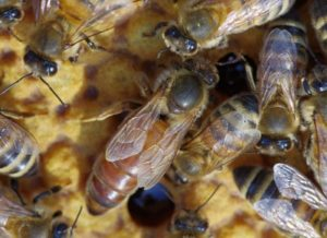 Bifamilier sælges med store gode dronninger